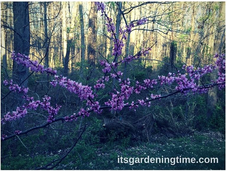 American Redbud how to garden beginner gardener