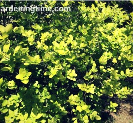 Ligustrum Vicaryl Golden Privet Shrub how to garden beginner gardening