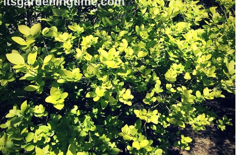 Ligustrum Vicaryl Golden Privet Shrub how to garden beginner gardening