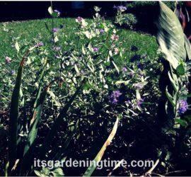Tropical Canna & Blue Coreopsis beginner gardener how to garden