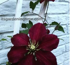 Clematis Vine Flowers! how to garden beginner gardener