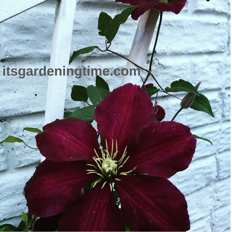 Clematis Vine Flowers! how to garden beginner gardener