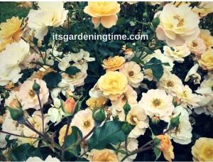 Yellow Teacup Roses! beginner gardener how to garden