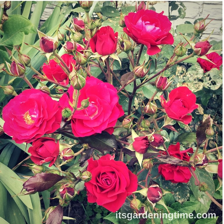 Lush Red Roses! beginner gardener how to garden