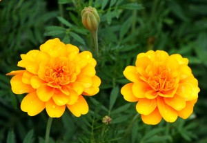 Marigolds [Photo Courtesy: www.pixabay.com] beginner gardener how to garden
