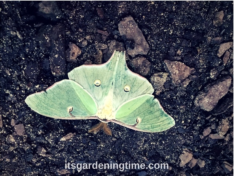 Actias Luna aka Luna Moth beginner gardener how to garden