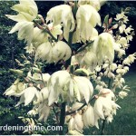 Yucca #Plant Serves 4 Purposes in #Gardens! #flowers
