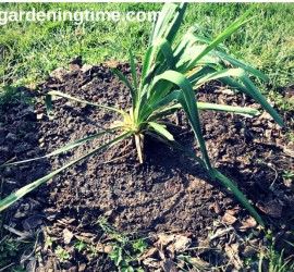 Transplanted Yucca Plant beginner gardener how to garden