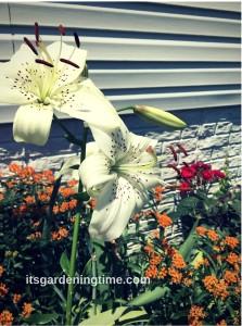 White Asiatic Lilies Blooming in Early Summer! beginner gardener how to garden