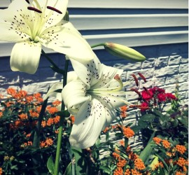 White Asiatic Lilies Blooming in Early Summer! beginner gardener how to garden