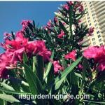 #Tropical #Shrub Blooms Magenta #Flowers! #shrubs #flowers