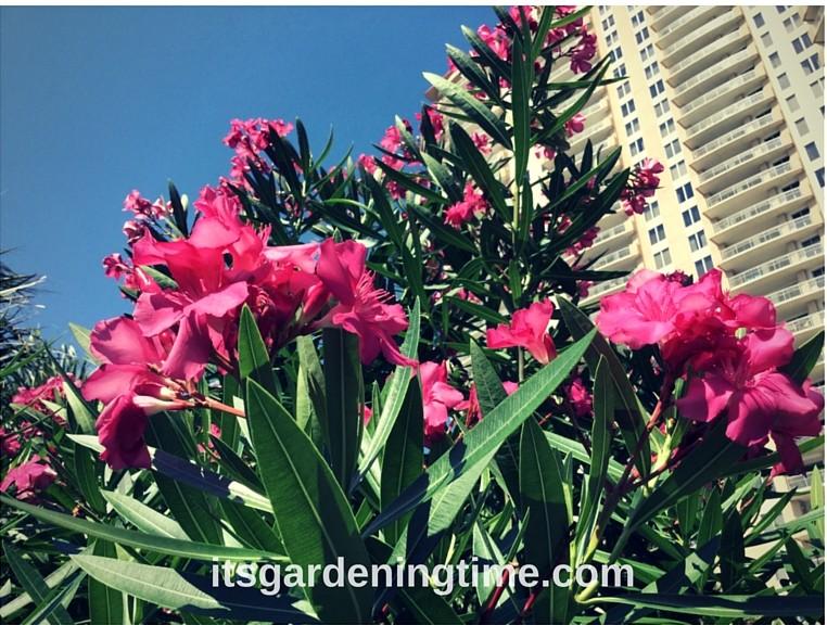 Tropical Shrub Blooms Magenta Flowers how to garden beginner gardener