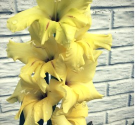 Yellow Gladiolus how to garden beginner gardener