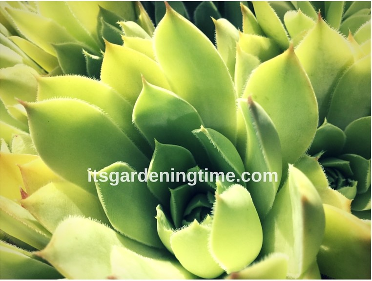 Hens and Chicks Succulent how to garden beginner gardener