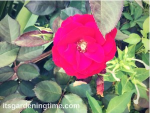 A Perfect Red Rose! how to garden beginner gardener