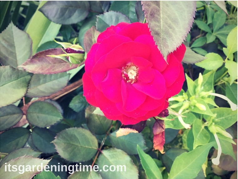 A Perfect Red Rose! how to garden beginner gardener