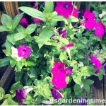 7 Tips to Get Free #Petunias Every Year! #petunia #flowers