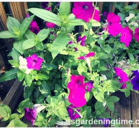 Container Gardening Petunias Zinnias Vinca how to garden beginner gardener