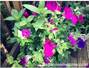 Container Gardening Petunias Zinnias Vinca