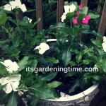 7 Tips to Get #Free #Vinca #Flowers! #containergardening