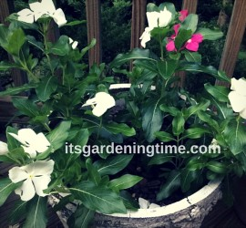 Free Vinca! how to garden beginner gardener