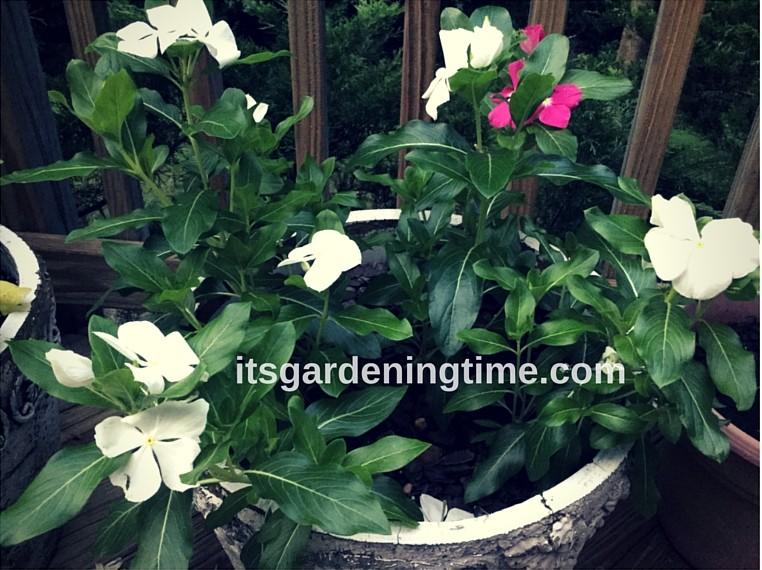 Free Vinca! how to garden beginner gardener