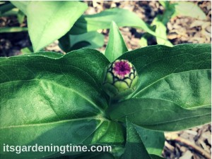 Countdown to Zinnia Blooms!