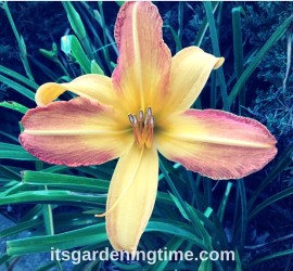 A Perfect Day Lily! how to garden beginner gardener