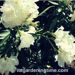 #Tropical #Shrub #Blooms #White #Flowers! #whiteflowers
