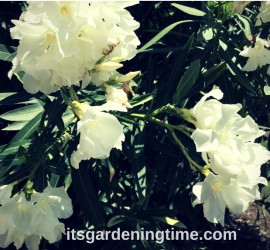 Tropical Shrub Blooms White Flowers! how to garden beginner gardener