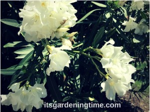 Tropical Shrub Blooms White Flowers!