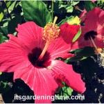 #Hot #Pink #Hibiscus #Flowers at Kingston Shores Resort! #pinkflowers