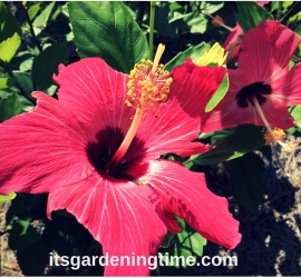 Hot Pink Hibiscus Flowers! how to garden beginner gardener