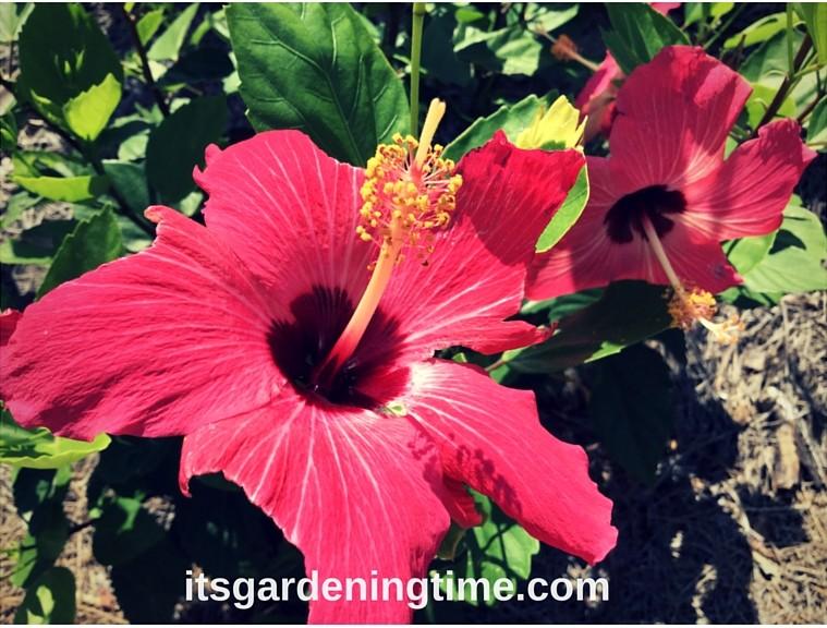 Hot Pink Hibiscus Flowers! how to garden beginner gardener