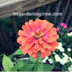 Countdown to Big #Zinnia #Blooms! #flowers #flower