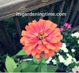 Orange Zinnia Flower beginner gardener how to garden