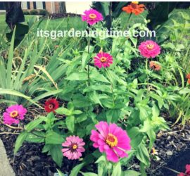 Front Triangle Garden Zinnias! how to garden beginner gardener