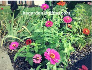 Front Triangle Garden Zinnias! how to garden beginner gardener