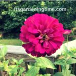 How to #Transplant #Seedlings! #zinnia #zinnias #growfromseed