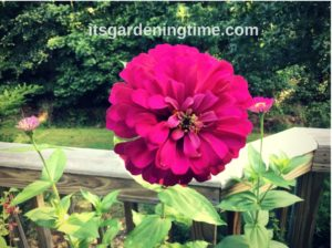 Magenta Zinnia! how to garden beginner gardener