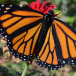 3 Ways to Attract #Monarch #Butterflies! #butterflygardening