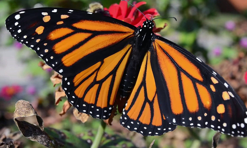 Monarch Butterfly [Photo Courtesy: www.flickr.com] how to garden