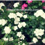4 Reasons to #Grow Big #Vinca #Flowers!