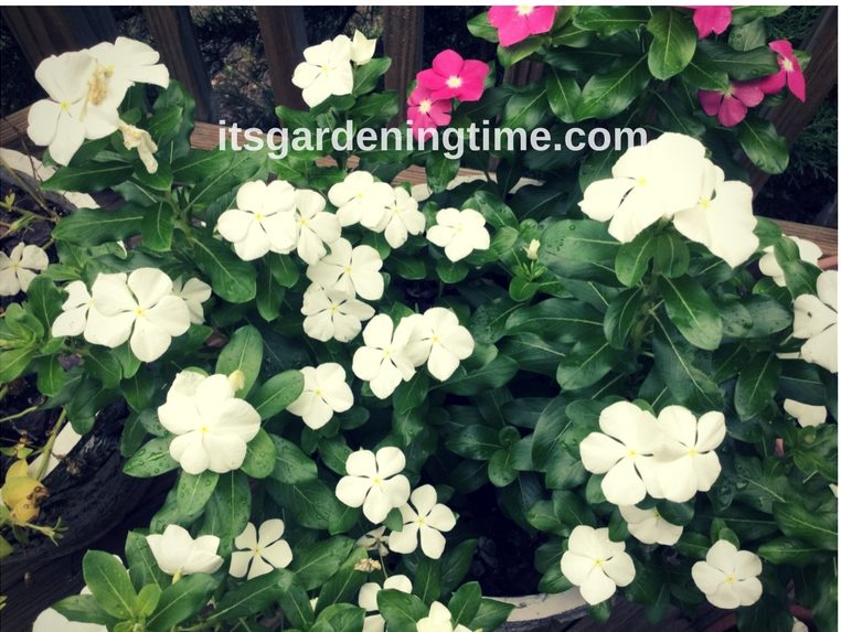 Big Vinca! how to garden beginner gardener