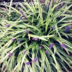 Why #Prune #Liriope in Early #Spring? #pruning #howtoprune
