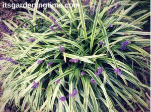 Liriope how to garden beginner gardener