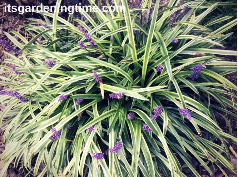 Why Prune Liriope In Early Spring Pruning Howtoprune Its