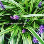 10 Reasons to #Grow #Liriope! #lowmaintenance #perennial