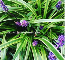 Variegated Liriope how to garden beginner gardener