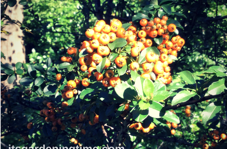 Orange Berries - Pyracantha Teton how to garden beginner gardener